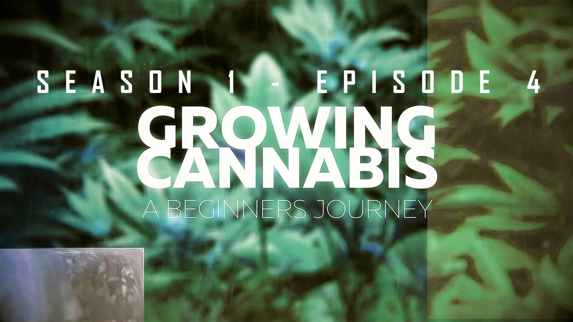 From Clones to Curing: A Beginner's Journey in Cultivating Cannabis #4 – Flowering Stage
