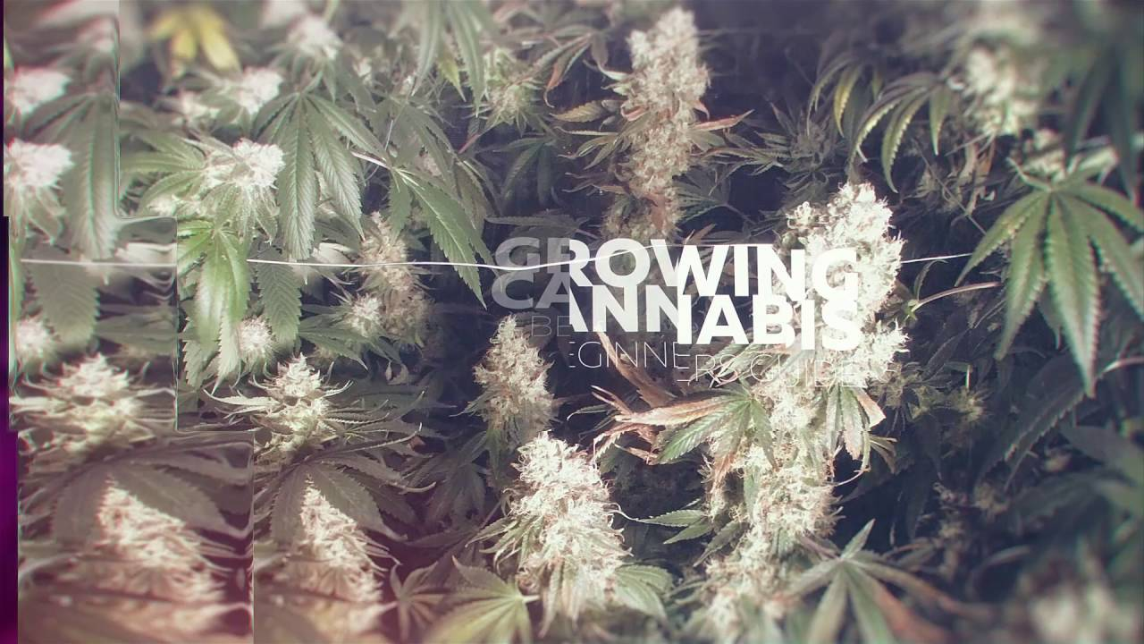 From Clones to Curing A Beginners Journey Into Growing Cannabis Teaser Trailer