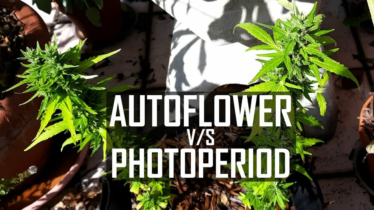 How to Grow Cannabis Ep 4 Autoflower Versus Photo-period Strains