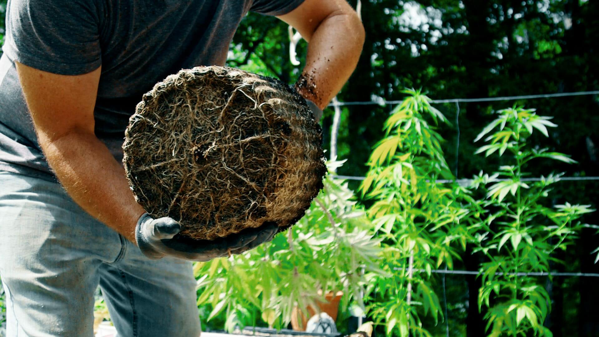 repotting-cannabis-plant-thumbnail-1